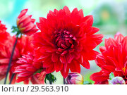 Купить «Красные георгины на ярком акварельном фоне», фото № 29563910, снято 6 июля 2017 г. (c) Татьяна Белова / Фотобанк Лори