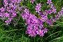 Купить «Флокс шиловидный (лат. Phlox subulata) в саду», фото № 29564134, снято 27 мая 2018 г. (c) Елена Коромыслова / Фотобанк Лори