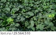 Купить «Fragment of melon field with foliage and green fruits», видеоролик № 29564510, снято 18 июля 2018 г. (c) Володина Ольга / Фотобанк Лори