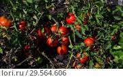 Купить «Ripe red tomatoes are grown in the ground», видеоролик № 29564606, снято 25 августа 2018 г. (c) Володина Ольга / Фотобанк Лори