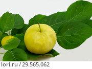 Купить «Наливное яблочко», фото № 29565062, снято 14 сентября 2018 г. (c) Инга Прасолова / Фотобанк Лори