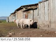 Купить «Две свиньи стоят возле деревянного сарая на задворках деревни», фото № 29568058, снято 20 сентября 2018 г. (c) Светлана Попова / Фотобанк Лори