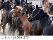 Купить «Stuet Graditz, horses at gallop on a sand paddock», фото № 29569270, снято 15 апреля 2018 г. (c) Caro Photoagency / Фотобанк Лори
