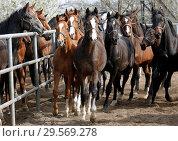 Купить «Stuet Graditz, horses trotting on a sand paddock», фото № 29569278, снято 15 апреля 2018 г. (c) Caro Photoagency / Фотобанк Лори