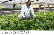 Skilled male farmer checking seedlings of Malabar spinach in hothouse. Стоковое видео, видеограф Яков Филимонов / Фотобанк Лори