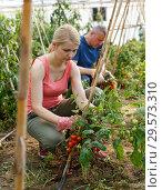Купить «Woman with man cultivating tomatoes», фото № 29573310, снято 5 июля 2018 г. (c) Яков Филимонов / Фотобанк Лори