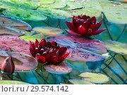 Купить «Бордовый цветы водяной лилии в пруду», фото № 29574142, снято 11 июля 2018 г. (c) Татьяна Белова / Фотобанк Лори