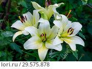 Купить «Цветы белой лилии в саду», фото № 29575878, снято 27 июля 2011 г. (c) Татьяна Белова / Фотобанк Лори