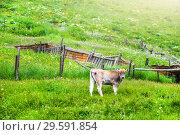 Купить «A young bull of brown color grazes on a green», фото № 29591854, снято 11 июля 2015 г. (c) katalinks / Фотобанк Лори