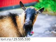 Купить «Portrait of a goat with a beard on the street in the village in the summer», фото № 29595590, снято 12 августа 2018 г. (c) Алексей Маринченко / Фотобанк Лори