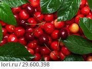 Купить «Beautiful backdrop of luscious berries cherries with green leaves in drops», фото № 29600398, снято 14 июня 2018 г. (c) Сергей Молодиков / Фотобанк Лори