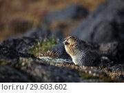 Купить «Gopher on stones», фото № 29603602, снято 7 сентября 2011 г. (c) Сергей Краснощеков / Фотобанк Лори