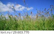 Купить «Beautiful meadow grass against sky by day in Russia. Fragment», видеоролик № 29603770, снято 25 июня 2018 г. (c) Володина Ольга / Фотобанк Лори