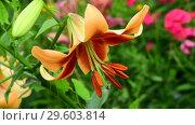 Купить «beautiful large varietal lily», видеоролик № 29603814, снято 21 июля 2018 г. (c) Володина Ольга / Фотобанк Лори