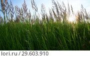 Купить «meadow grass against sky and sun by day in Russia. Fragment», видеоролик № 29603910, снято 27 июня 2018 г. (c) Володина Ольга / Фотобанк Лори