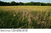 Купить «Mature oats in sunset light. Nature of Russia», видеоролик № 29606818, снято 27 июня 2018 г. (c) Володина Ольга / Фотобанк Лори