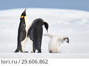 Купить «Two Emperor Penguins with chick», фото № 29606862, снято 5 ноября 2018 г. (c) Vladimir / Фотобанк Лори