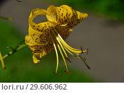 Купить «Лилия чалмовидная Лейхтлина (лат. Lilium leichtlinii)», эксклюзивное фото № 29606962, снято 26 июля 2015 г. (c) lana1501 / Фотобанк Лори