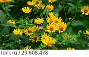 Купить «blooming yellow doronicum on a bed in the garden», видеоролик № 29608478, снято 21 июля 2018 г. (c) Володина Ольга / Фотобанк Лори