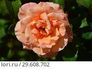 Купить «Роза чайно-гибридная Вом Вишес (лат. Warm Wishes)», эксклюзивное фото № 29608702, снято 25 июля 2015 г. (c) lana1501 / Фотобанк Лори