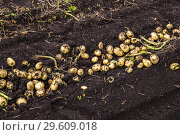 Купить «Картофель нового урожая», фото № 29609018, снято 22 августа 2018 г. (c) Ольга Сейфутдинова / Фотобанк Лори