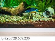 Купить «Фрагмент домашнего аквариума с мангровой корягой, камнями, искусственным кораллом и украшениями. Маленькие аквариумные рыбки», фото № 29609230, снято 12 мая 2017 г. (c) Алёшина Оксана / Фотобанк Лори