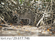 Ocelot (Leopardus pardalis), endangered species in mangrove forest. Roatan, Bay Islands Honduras, Central America, Latin America. Стоковое фото, фотограф Martin Ruegner / age Fotostock / Фотобанк Лори