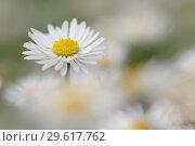 Купить «Daisy (Bellis perennis. Bavaria, Germany.», фото № 29617762, снято 11 апреля 2005 г. (c) age Fotostock / Фотобанк Лори