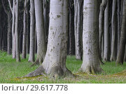 Купить «Beech tree (Fagus sylvatica) forest. Mecklenburg Vorpommern, Mecklenburg-Western Pomerania, Germany.», фото № 29617778, снято 26 мая 2008 г. (c) age Fotostock / Фотобанк Лори