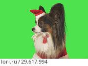 Купить «Beautiful dog Papillon in Santa Claus costume on green background», фото № 29617994, снято 25 августа 2019 г. (c) Юлия Машкова / Фотобанк Лори