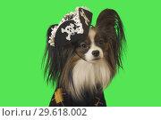 Купить «Beautiful dog Papillon in pirate costume on green background», фото № 29618002, снято 25 августа 2019 г. (c) Юлия Машкова / Фотобанк Лори