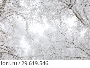 Купить «The background is natural. Weather, cold, winter in the forest. Tree branches covered with fresh white snow and hoarfrost», фото № 29619546, снято 23 декабря 2018 г. (c) Светлана Евграфова / Фотобанк Лори