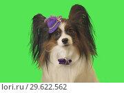 Купить «Beautiful dog Papillon in purple hat with feather and bow on green background», фото № 29622562, снято 25 августа 2019 г. (c) Юлия Машкова / Фотобанк Лори