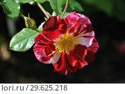 Купить «Роза флорибунда Крэйзи фо Ю (Fourth of July), (лат. Crazy for You)», эксклюзивное фото № 29625218, снято 8 сентября 2014 г. (c) lana1501 / Фотобанк Лори