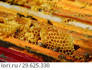 Купить «Bees are sitting on the comb in the hive», фото № 29625330, снято 7 августа 2017 г. (c) Володина Ольга / Фотобанк Лори