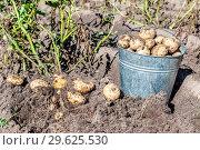 Купить «Freshly dug organic potatoes at the vegetable garden», фото № 29625530, снято 24 августа 2018 г. (c) FotograFF / Фотобанк Лори