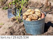 Купить «Freshly dug potatoes in metal bucket and shovel», фото № 29625534, снято 24 августа 2018 г. (c) FotograFF / Фотобанк Лори