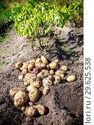 Купить «Freshly dug organic potatoes at the vegetable garden», фото № 29625538, снято 24 августа 2018 г. (c) FotograFF / Фотобанк Лори