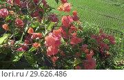 Купить «Bushes with red flowers against the background of rice fields. Bali. Indonesia», видеоролик № 29626486, снято 14 декабря 2008 г. (c) Куликов Константин / Фотобанк Лори