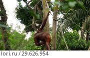 Купить «Orangutan on the tree», видеоролик № 29626954, снято 27 декабря 2018 г. (c) Игорь Жоров / Фотобанк Лори