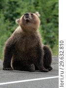 Купить «Медведь вертит башкой, отпугивает комаров», фото № 29632810, снято 31 июля 2018 г. (c) А. А. Пирагис / Фотобанк Лори