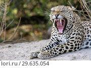 Купить «Yawning Leopard (Panthera pardus) - Okonjima Nature Reserve, Namibia, Africa.», фото № 29635054, снято 2 декабря 2018 г. (c) age Fotostock / Фотобанк Лори