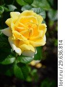 Купить «Роза чайно-гибридная Вандэ Глоб (лат. Vendee Globe), Francois Dorieux II (France, 2000), LAPERRIERE», эксклюзивное фото № 29636814, снято 14 июля 2015 г. (c) lana1501 / Фотобанк Лори