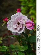 Купить «Роза чайно-гибридная Муди Блю (лат. Moody Blue), Fryers Roses 2008», эксклюзивное фото № 29636850, снято 14 июля 2015 г. (c) lana1501 / Фотобанк Лори
