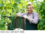 Man gardener in apron with barrow standing near marrow seedlings. Стоковое фото, фотограф Яков Филимонов / Фотобанк Лори