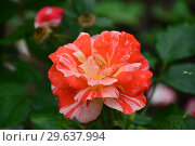 Купить «Роза флорибунда Хэнки Пэнки (Hanky Panky), Tom Carruth 2004, C&K Jones», эксклюзивное фото № 29637994, снято 15 июля 2015 г. (c) lana1501 / Фотобанк Лори