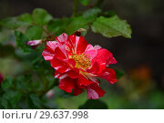 Купить «Роза флорибунда Крэйзи фо Ю (Fourth of July), (лат. Crazy for You)», эксклюзивное фото № 29637998, снято 15 июля 2015 г. (c) lana1501 / Фотобанк Лори