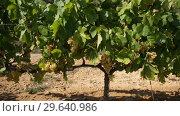 Купить «Closeup of bunches of ripe white grapes on vine in vineyard. Selective focus», видеоролик № 29640986, снято 27 сентября 2018 г. (c) Яков Филимонов / Фотобанк Лори