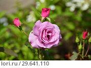 Купить «Роза чайно-гибридная Муди Блю (Rosa Moody Blue), Fryers Roses, 2008», эксклюзивное фото № 29641110, снято 15 июля 2015 г. (c) lana1501 / Фотобанк Лори