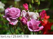 Купить «Роза чайно-гибридная Муди Блю (Moody Blue), Fryers Roses 2008», эксклюзивное фото № 29641118, снято 15 июля 2015 г. (c) lana1501 / Фотобанк Лори